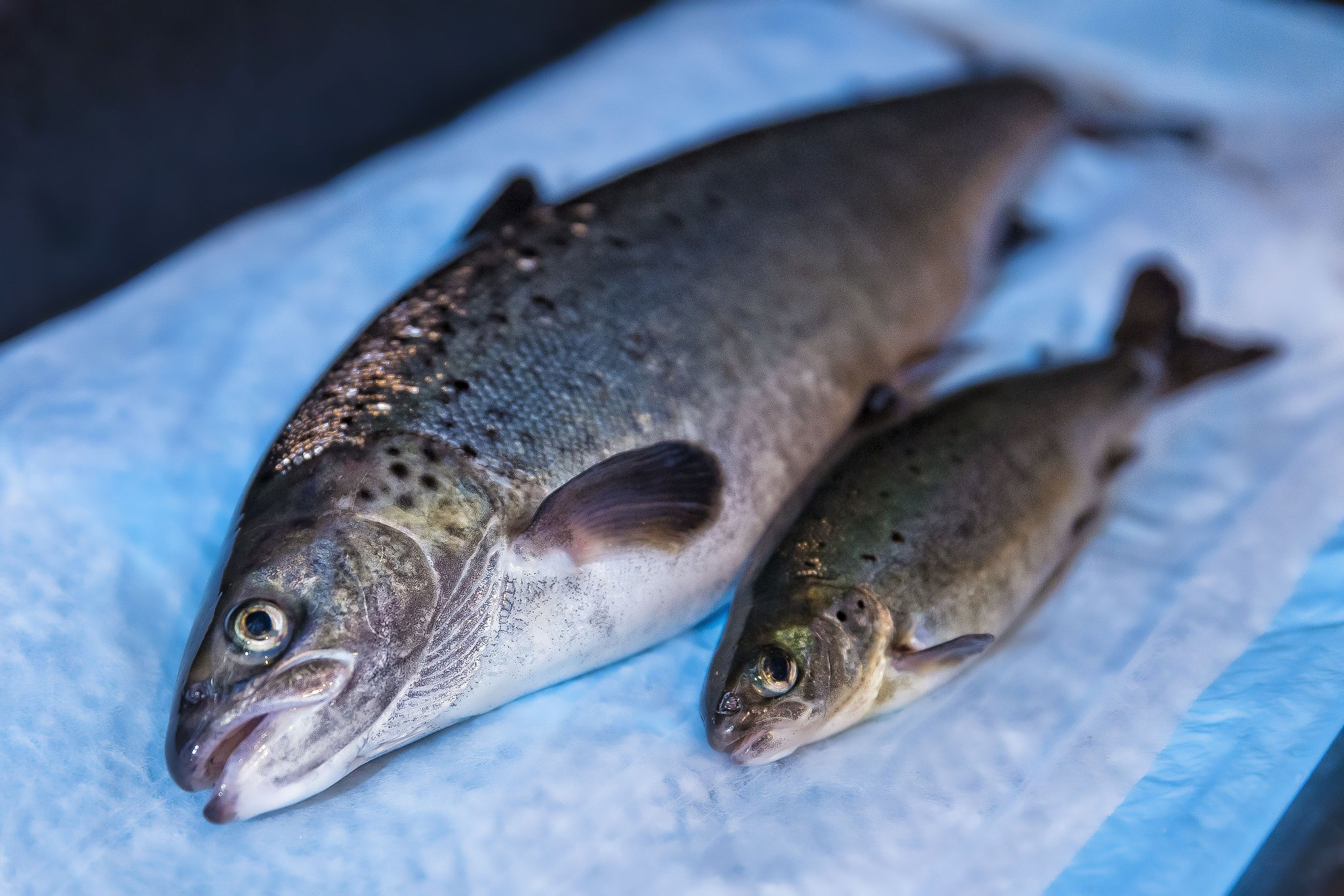 ... Fish Feed Into Edible Protein, They Offer A Potential Low Cost Solution  For Nourishing Not Only Affluent Consumers In North America But Hungry  People In ...