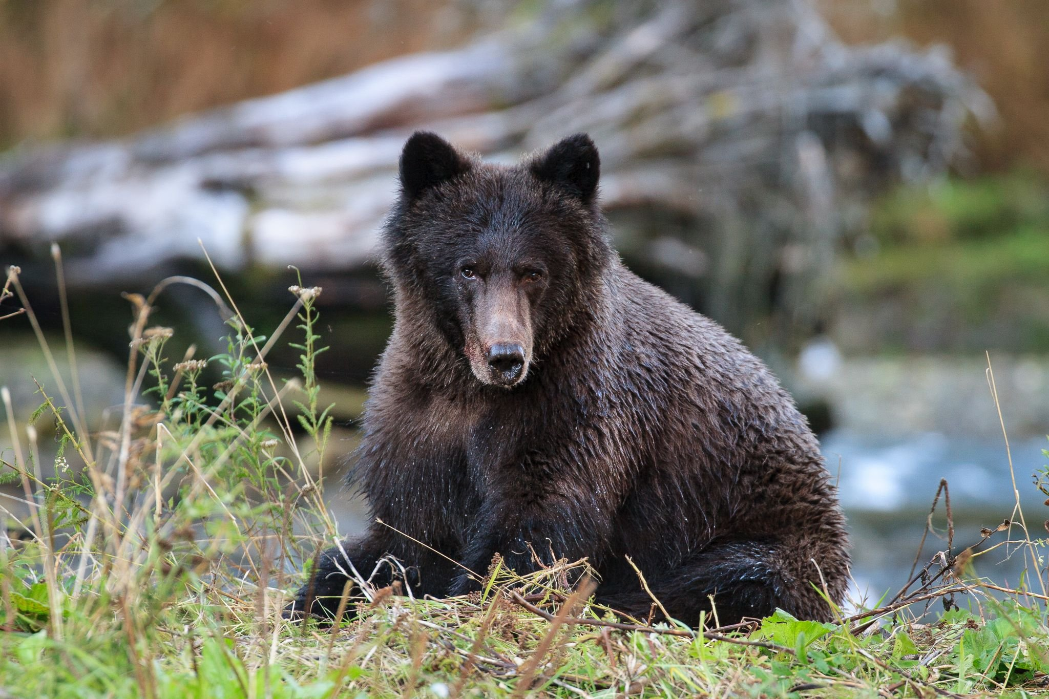 humans impact on grizzly bears essay Buy night of the grizzlies, 45 years later:  two young women were killed in glacier national park by two seperate grizzly bears,  bears essay girls attacks.